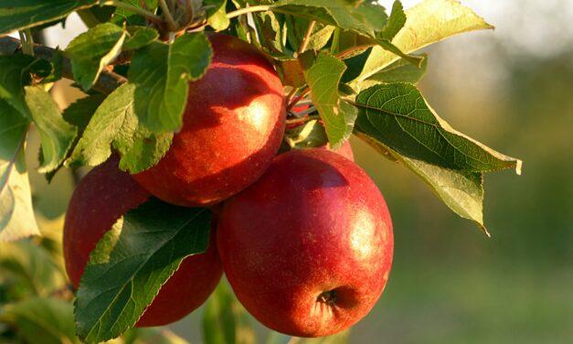 Drømmer du om eget æbletræ i haven?